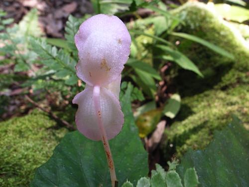 水鴨腳秋海棠:公花的背面沒有脂肪,母花才有