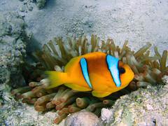 poisson clown (photosk10) Tags: red sea mer nature rouge clown redsea egypt olympus poisson amateur egypte némo blueribbonwinner impressedbeauty superbmasterpiece photosk10 natureselegantshots 1030sw