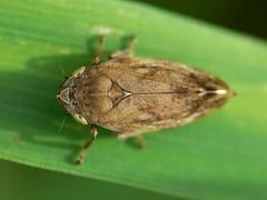 Philaenus spumarius (Walwyn) Tags: insect warwickshire homoptera philaenusspumarius spumarius philaenus walwyn draycotemeadows profmoriartydotcom:book=885 profmoriartydotcom:book=886 profmoriartydotcom:book=882