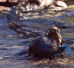 Crocodiles, Broome (C) 2008