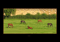 FIVE (Michaela Davies) Tags: horses grass canon feeding zoom eating 5 five country straw august farmland bales 2008 equine s5is
