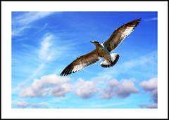 Seagull of Liberty (DP Photography) Tags: newyork seagull statueofliberty airborne soe avian flightoffancy naturesfinest birdphotography wingedcreatures specanimal golddragon platinumphoto theunforgettablepictures goldstaraward debashispradhan dpphotography dp photography