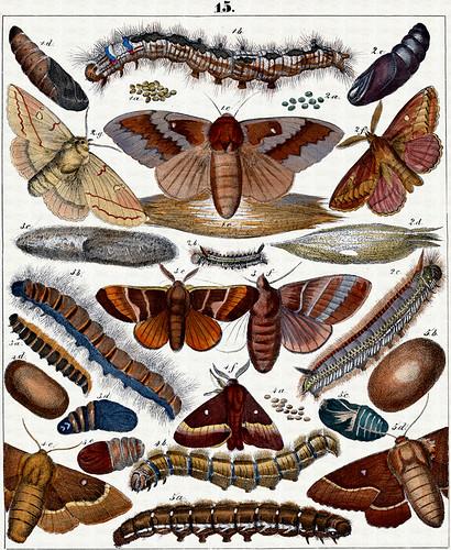 Berge's Schmetterlinge, plate 15