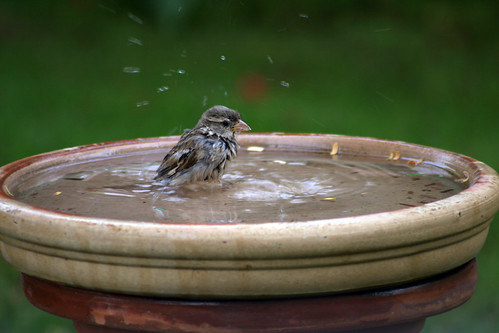 Bathing Sparrows