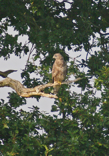 Buzzard Record