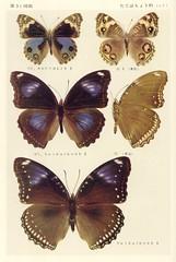 papillon 31