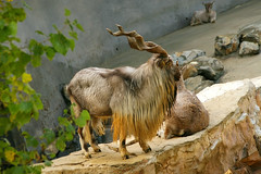 Markhor, Tadjik (MickiP65) Tags: california wild portrait usa nature animal animals portraits mammal zoo la us losangeles wildlife goat exhibit creation socal goats northamerica lazoo 2008 mammals exhibits losangeleszoo zoos copyrighted animalportrait markhor animalportraits canoneos30d tadjik michellepearson markhors 120308 12032008 dec032008
