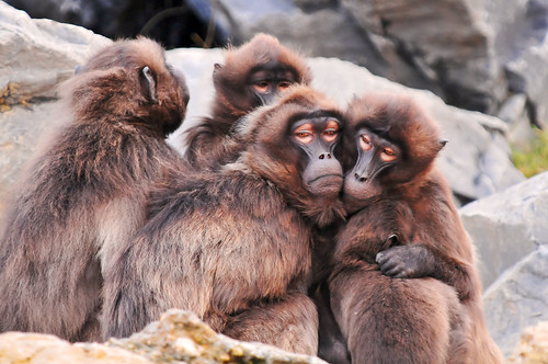 Piled baboons
