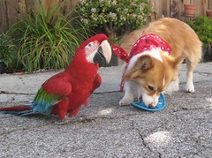 playtime --- as usual  (202/366) (sansanparrots) Tags: friends red dog fun toy corgi beak parrot pals frisbee 2008 202 rani myblog project365 fluffycorgi kaleycorgi