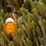Western Clown Anemonefish - Koh Lipe, Thailand