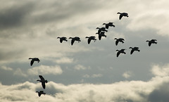 68EV5064-1 (sgbaughn) Tags: geese goose snowgeese snowgoose
