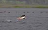 Brown-headed Gull (nurur) Tags: brown birds river gull bangladesh headed feni muhuri brownheadedgull nurur muhuridam muhuririver