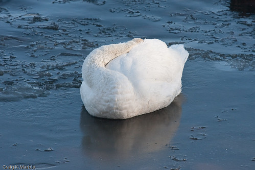Trumpeter Swan Sleeping on the Ice