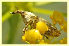 Lixus cylindrus (PheCrew) Tags: macro bug insect phe soken macrolife emittero