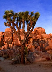 Sundown Joshua Tree and Shadow (Bill Wight CA) Tags: california park travel sunset shadow usa tree tourism monument rock america landscape nationalpark flora scenery rocks unitedstates desert outdoor unitedstatesofamerica scenic joshuatree rocky reserve conservation dry boulder erosion formation american granite vegetation northamerica destination environment weathered geology wilderness habitat desolate barren protection preserve arid deserts yucca rugged nationalmonument americanwest joshuatrees vastness mojavedesert ecosystem yuccabrevifolia eroded rockformation joshuatreenationalpark farwest destinations granitic dryness traveldestinations beautyinnature aridity westernunitedstates barerock woodyplant billwight copyright2010 sensitivenaturalareas