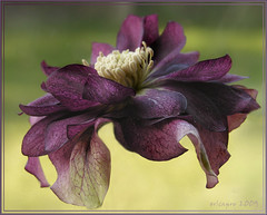 Flying hellebore (Magic_moments..) Tags: flower photography purple spirit exotic mauve hellebore greatphotographers digitalcameraclub platinumphoto citrit miramorflowers simplythebest~flowers paololivornosfriends
