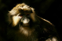 Moustached Guenon (MickiP65) Tags: california africa wild portrait usa nature face animal animals portraits mammal zoo monkey la us losangeles faces wildlife exhibit creation socal northamerica monkeys lazoo creatures creature mammals primate 2009 exhibits animalia mammalia losangeleszoo zoos thirds primates guenon copyrighted ruleofthirds animalportrait animalportraits animalfaces chordata animalface canoneos30d cercopithecus cercopithecidae cercopithecinae oldworldmonkeys oldworldmonkey michellepearson 011609 cercopithecuscephus cercopithecini moustachedmonkey moustachedguenon 01162009 jan162009 ccephus