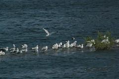IMGP2925 (MeRyan) Tags: newyork public birds rivers