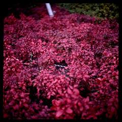 秋の赤 (gullevek) Tags: red plants 6x6 film japan geotagged iso100 kodak bokeh 日本 秋 bushes kanagawa kawasaki 川崎 神奈川県 rolleiflex28c epsongtx900 kodakektachromeepn100 geo:lat=35533047 geo:lon=139697991
