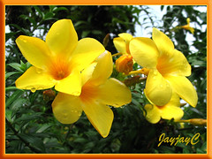 Allamanda cathartica var. Schottii (Yellow Allamanda, Dwarf Golden Trumpet, Bush Allamanda) in our neighbourhood