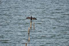 Hangin' out (Jensje-Jenne-Photography) Tags: holland bird nature water netherlands dutch nederland natuur cormorant paysbas vogel waterland aalscholver 2011 gouwzee uitdam