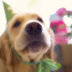 The Pawty (VeryViVi) Tags: birthday party dog goldenretriever doggy 2ndbirthday missvivigold veryvivi