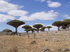 Socotra Dragon Trees (Dracaena cinnabari), Diksam Plateau (twiga_swala) Tags: ocean tree blood dragon plateau indian yemen dracaena dragontree socotra soqotra cinnabari dragonbloodtree dixam diksam سُقُطْرَى