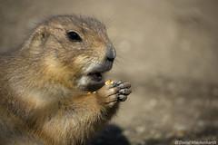 Prairie dog eating a nut (Delusional Danny) Tags: schnbrunn vienna wien dog zoo walnut prairie tiergarten schonbrun
