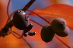fall fruit -- nyssa sylvatica (blackgum, black tupelo) (photomandala) Tags: blue autumn orange tree fall leaves fruit afternoon berries branches twigs sylvatica sidelight nyssa contrastingcolors