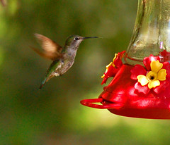 Hummingbird (gwilmore) Tags: arizona wow d50 dof hummingbird superior soe boycethompsonarboretum afnikkor85mmf18d interestingness170 i500 explore24mar08