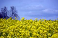 Field Mustard (bluehazyjunem) Tags: field spring mustard 2008 naturesfinest showamemorialpark supershot