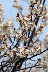 Plum Blossom Festival,Nanjing,China 16 (jimmyleggate) Tags: voyage china travel flowers festival dance chinese nanjing plumblossoms chineseculture plumblossomfestival