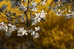 Flowering Tree (Jane Volk) Tags: lexington cemetary floweringtree kyspring