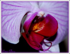 for the love of Orchids (Smme eeZe) Tags: red white orchid flower macro nature spring purple mywinners platinumphoto diamondclassphotographer theunforgettablepictures