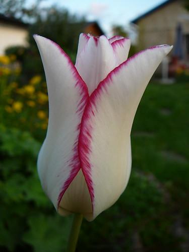 Tulpen 2008 (13)