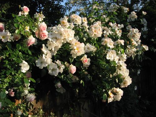 roses4-30 017