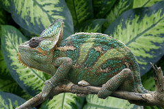 Chameleon (Muddy Funkster) Tags: living rainforest reptile jungle tropical chameleon supershot colorphotoaward colourphotoaward