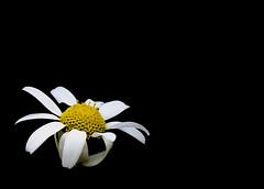 Margarita (_Zahira_) Tags: black flower lafotodelasemana negro flor olympus 100v10f nd daisy margarita minimalismo minimalist interestingness2 e500 uro espacionegativo 100vistas i500 p1f1 ltytrx5 ltytr2 ltytr1 ltytr3 ltytr4 ltytr5 ltytr6 ltytr7 ltytr8 2ºolympicframe