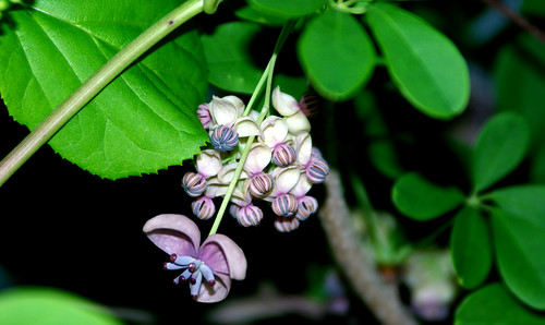 Five-leaf Akebia