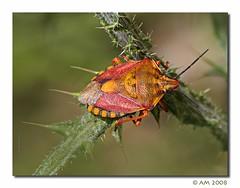 Graphosoma italicum (nazet) Tags: canon insetti cimice graphosoma italicum eos40d beautifulmonsters