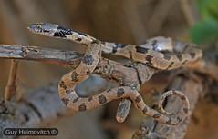 Cat-Eyed Snake (Telecupos fallax) עין חתול חברבר