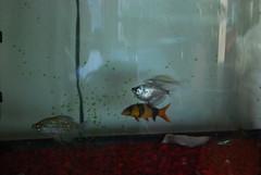 aquarium tetra loach