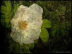 Ancient Rose (Kirsten M Lentoft) Tags: white flower rose textured abigfave artlibre momse2600 amazingamateur proudshopper multimegashot magicdonkeysbest kirstenmlentoft magicunicornverybest