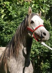 victor (ninjapoodles) Tags: horse grey pain gray victor arabian sick stallion colic