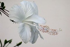 White hibiscus (jendayee) Tags: flowers white martinique hibiscus onwhite takeabow naturesfinest flowerotica fantasticflower golddragon goldstaraward macroflowerlovers excellentsflowers 4mazingorgeoushotsoflowers auniverseofflowers