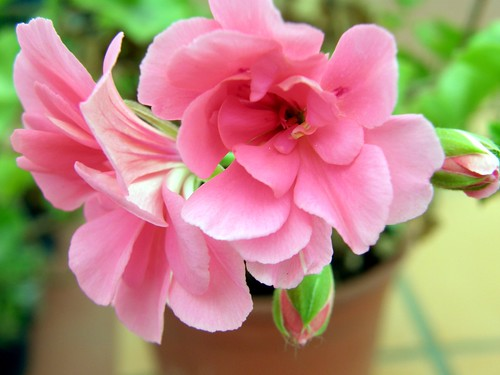Geranios rosados 2