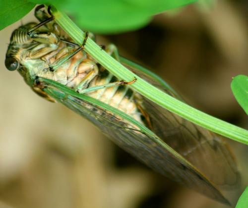 cicada Tibicen linnei