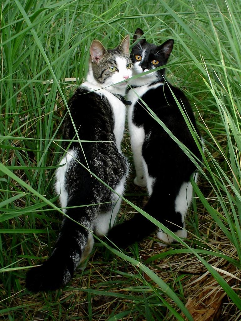 katter, promenad, gräs, grönt, nära,vänskap, släktskap