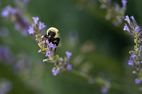Bee... macrofied...