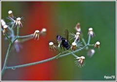Fly and Flowers (pjoe78) Tags: amazingcolors abigfave brillianteyejewel goldstaraward